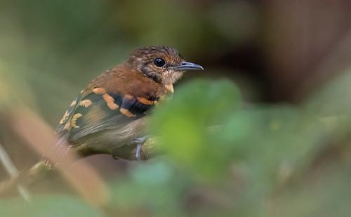 Hylophylax naevioides - Spot-backed Antbird - Hormiguero Dorsipunteado - Hormiguero Gargantilla female 11