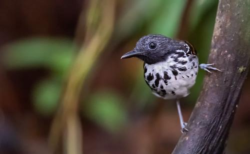 Hylophylax naevioides - Spot-backed Antbird - Hormiguero Dorsipunteado - Hormiguero Gargantilla 01
