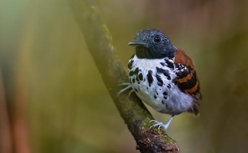 Hylophylax naevioides - Spot-backed Antbird - Hormiguero Dorsipunteado - Hormiguero Gargantilla 10