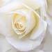 White Rose (I), 5.17.19