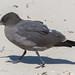Heermann's Gull - 2nd Year - September