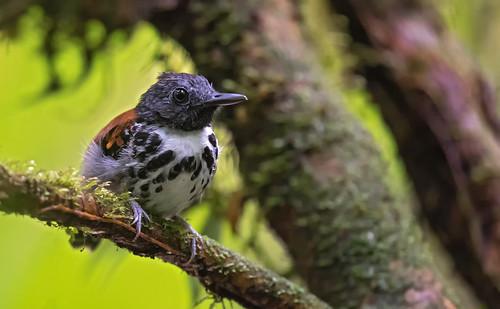 Hylophylax naevioides - Spot-backed Antbird - Hormiguero Dorsipunteado - Hormiguero Gargantilla 08