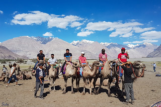 Bactrian camels with two humps in Nubra Valley