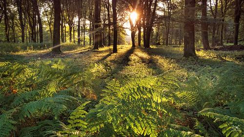 sunrise sun forest trees bracken beech fagussylvatica hallebos fujifilmxt3 3leggedthing lichtenbeek gelderland arnhem glk gelderschlandschap