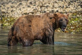 Brown Bear Eating Clam