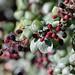 EOS 6D_Peter Harriman_10_20_00_02576_Blackberries_dpp
