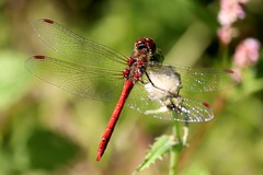 Red dragonfly I