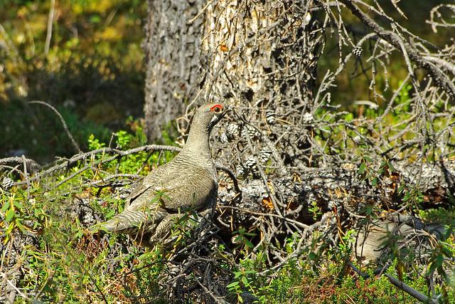 Spruce Grouse (Falcipennis canadensis) male; around Watson Lake, Yukon, Canada.