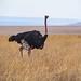 Tanzania_19_Serengeti_ Ostrich