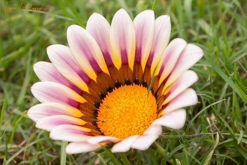 Gazania Flower In The Park