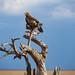 Tanzania_19_Serengeti_Eagle