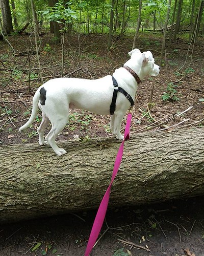 I took Carla on a brief trail walk. She decided to jump up on this fallen tree. Cane does not do this, so it took me by surprise! #Carla #dogsofinstagram #pitbullsofinstagram #pitbullmix #pittie