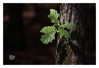 Oke leaves in mystical sunlight