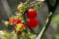 Autumn tomato