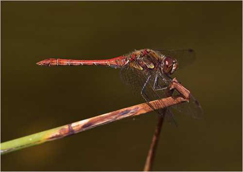 Common Darter (m) Sympetrum striolatum