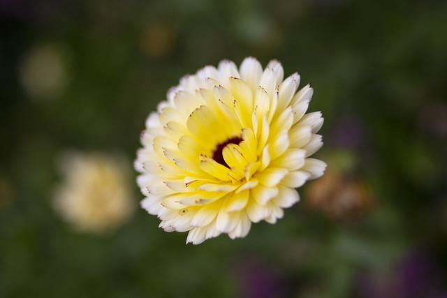a gorgeous marigold flower seems to hang unsupported in mid-air. Wide open lens, fine art colour. Walled garden - Drum Castle, near Drumoak, Aberdeenshire, Scotland.