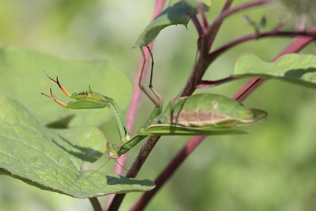 Mante religieuse / Praying mantis