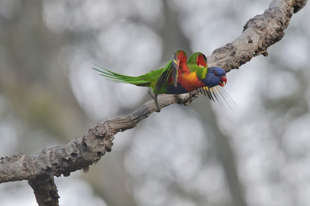 Rainbow Lorikeet ( I'm off )
