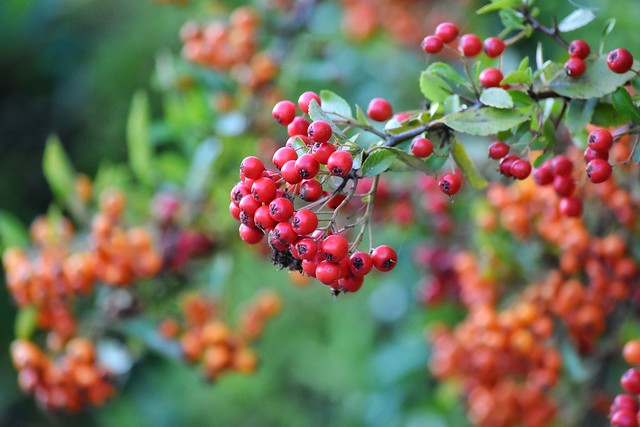 Here come the Autumn berries!