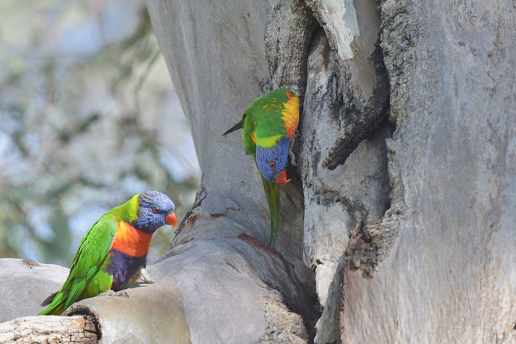 Rainbow Lorikeets  ( just looking for the new home )