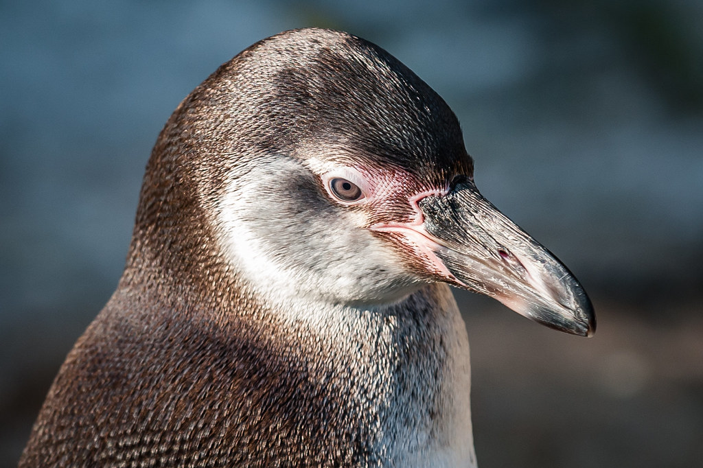 Pensive Penguin - up close