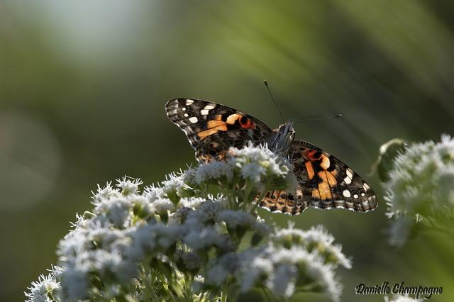 DBC_2509 papillon