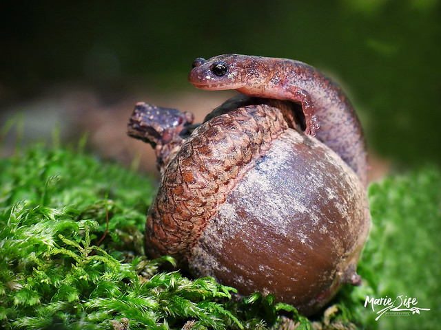 Salamandre cendrée (Plethodon cinereus)