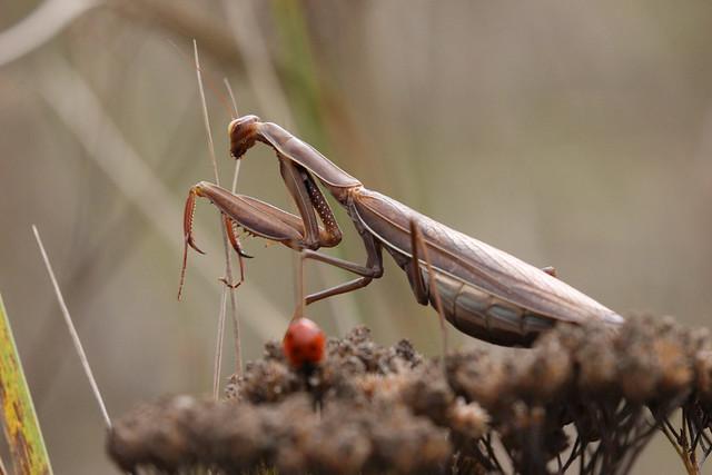 Fascinante mante religieuse / Praying mantis