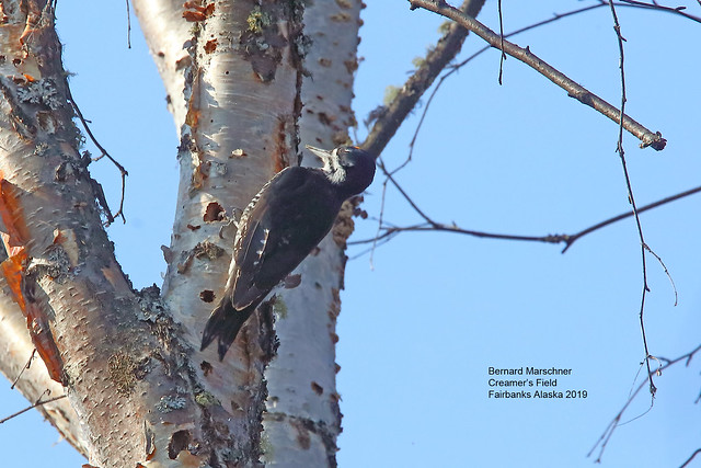 Black Backed Woodpecker_4H4A3187