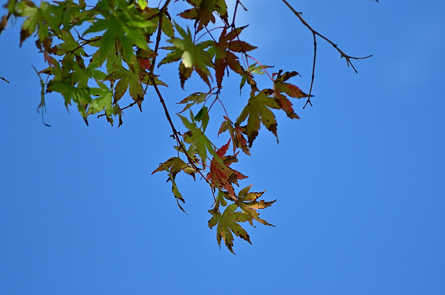 The maples have put on their autumn colours