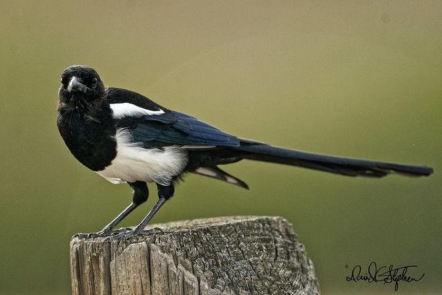 Black-billed Magpie Poses On Post