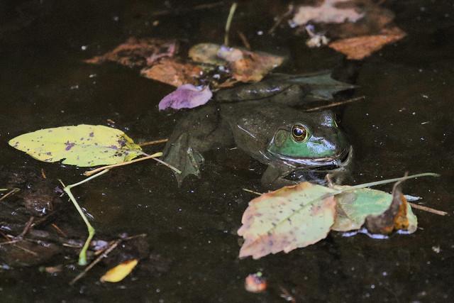 Small Bullfrog