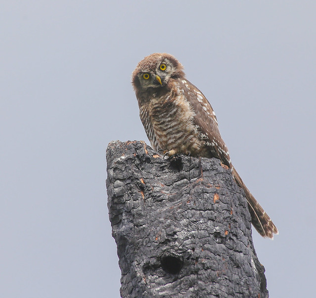 Northern Hawkowl (owlet)