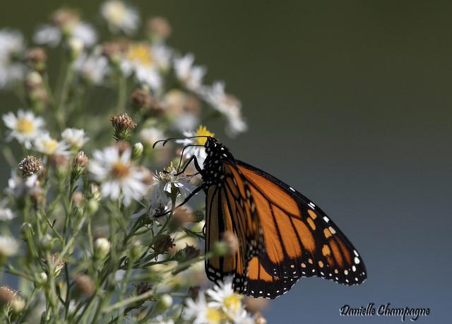 DBC_2491 papillon monarque