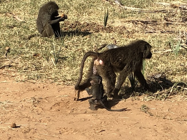 Baboons at Samburu