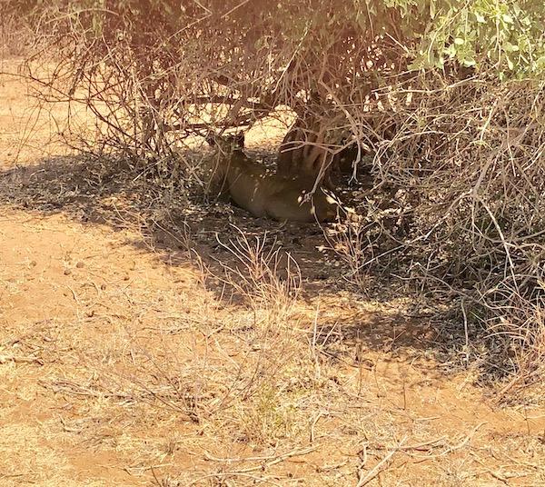 Lioness at Samburu (look closely)