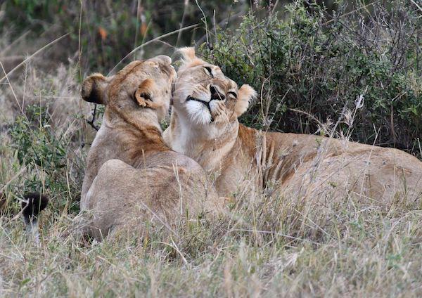 Lions at Maasai Mara