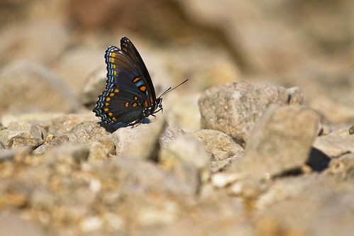 red spotted purple 1 | by G_Anderson