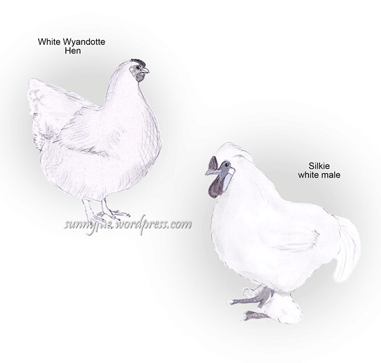 white Wyandotte and Silkie chicken paintings