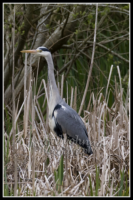 IMG_0362 Grey Heron