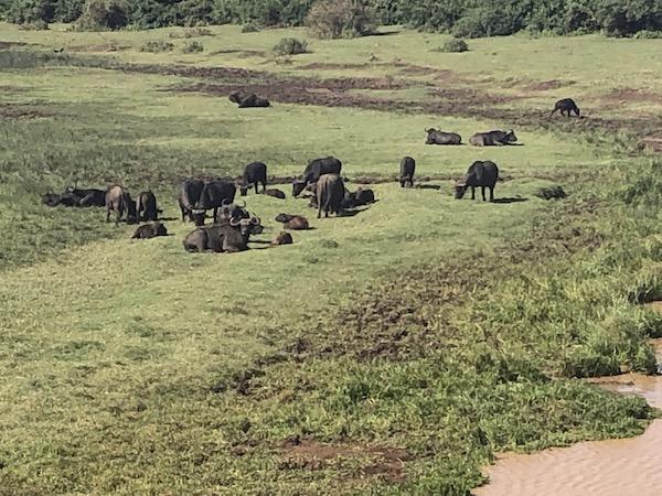 Buffalos at the Ark
