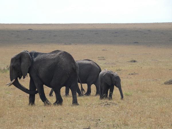 Elephants at Maasai Mara
