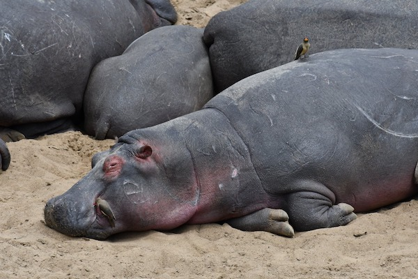 Hippo at Maasai Mara