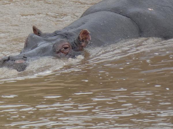 Swimming hippo at Maasai Mara
