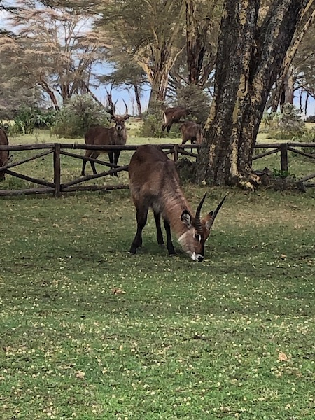 Waterbucks near Lake Naivasha