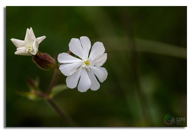 """Silene latifolia :  """"Pareil à la fleur, l'homme s'épanouit et se fane, il s'efface comme une ombre."""" Tiré de la Bible."""