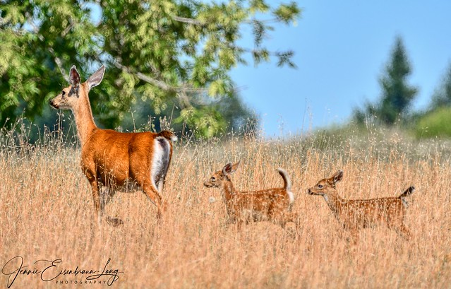 Doe and her two fawns.