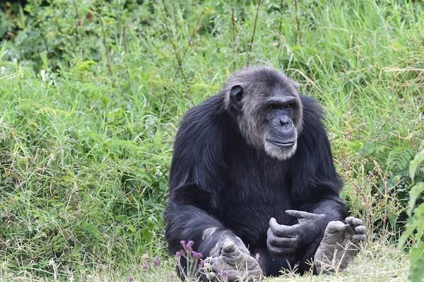 Chimpanzee at Ol Pejeta