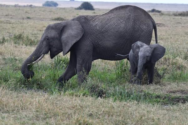 Momma elephant with baby at Maasai Mara