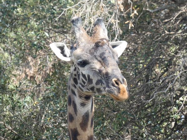 Giraffe headshot at Maasai Mara